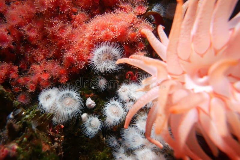 Ruch pi?kny ciemnop?sowy anemonowy podwodny zdjęcie stock