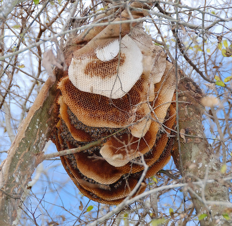 Ruche d'abeille dans l'arbre