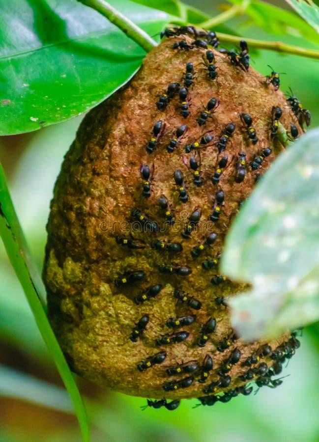 Ruche des abeilles sauvages dans la forêt tropicale d'Amazone au Brésil image stock