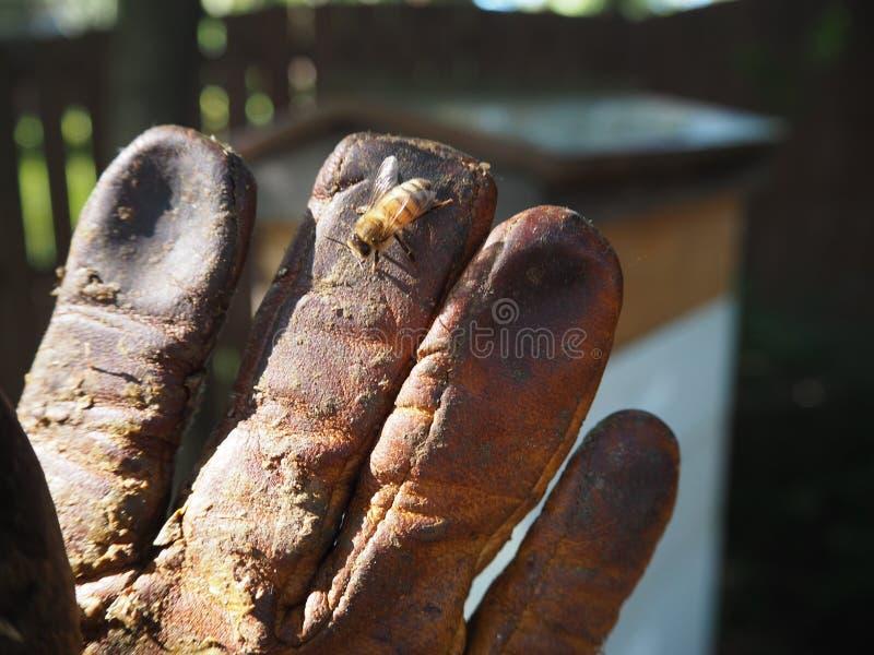 Ruche Honey Beekeeping Glove d'abeilles image libre de droits