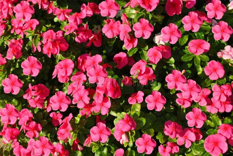 Ruchliwie lizzie Impatiens akcentu Botaniczny imię fiołek zdjęcie stock