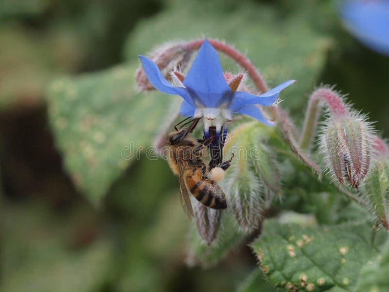 Ruchliwie pszczoła obrazy stock