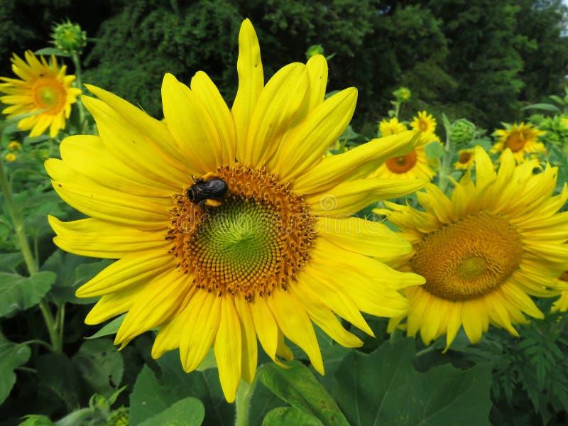 Ruchliwie pszczoła na słoneczniku fotografia royalty free