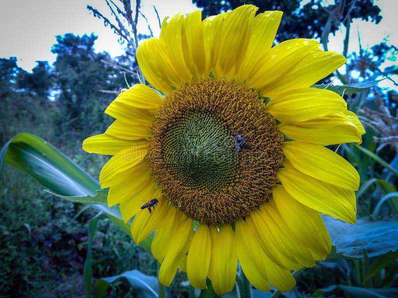 ruchliwie pszczoła słonecznik obraz stock