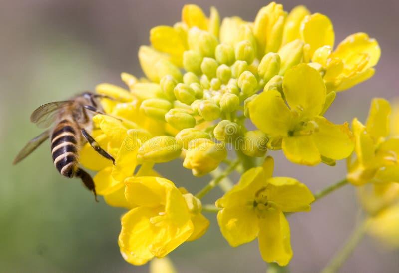 ruchliwie pszczoły działanie zdjęcie royalty free