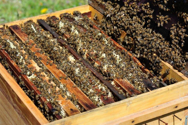 Ruchliwie pszczoły w beekeeping rojach fotografia stock