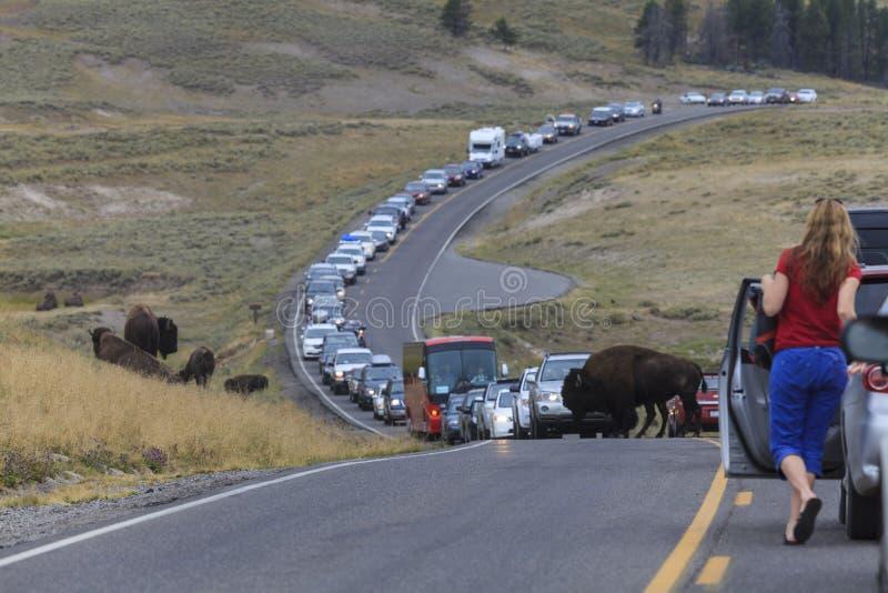 Ruchu drogowego dżem w Yellowstone parku narodowym obraz royalty free
