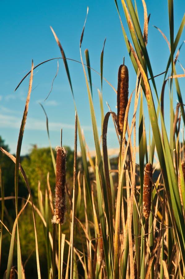 Ruchy punków, dorośleć w bagnie z trawą na bariery wyspie fotografia stock