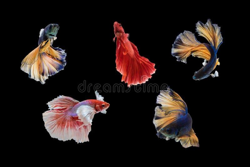 ruchy Syjamska bój ryba zdjęcie royalty free
