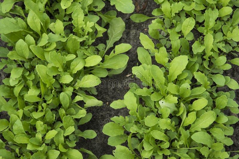 Rucola che cresce nel giardino immagini stock libere da diritti
