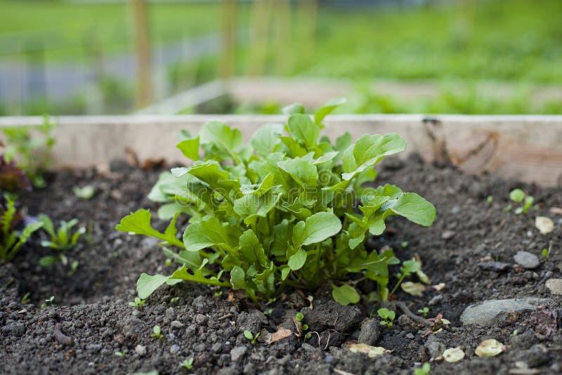 Rucola - foglie della lattuga dell'insalata di razzo che crescono nell'orto con i letti alzati immagine stock libera da diritti