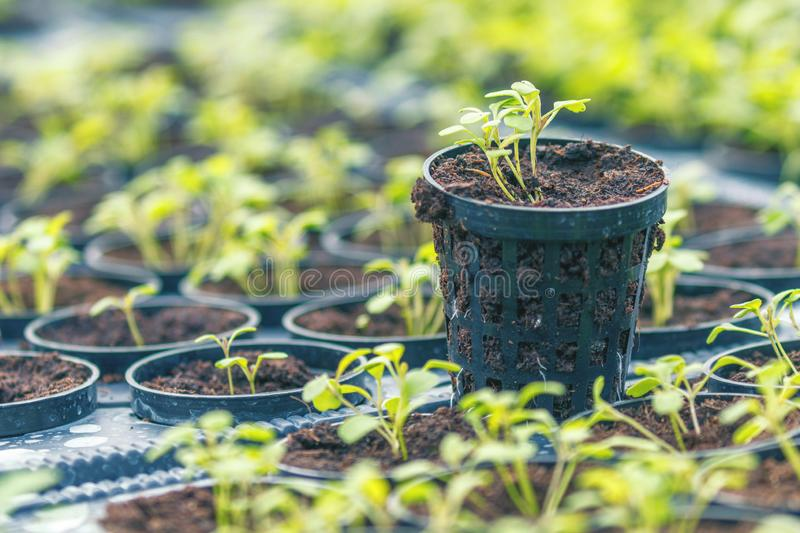 Rucola Hydroponic farm. Young Rucola plants, Young rockets, Rucola sprouts, Spring Seedlings. Healthy Vegetable. Agriculture royalty free stock image