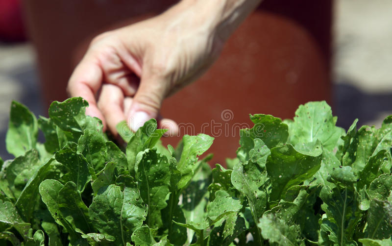 Rucola inspecting with hend. Woman inspecting rucola vegetable salad plants on the garden bed royalty free stock image