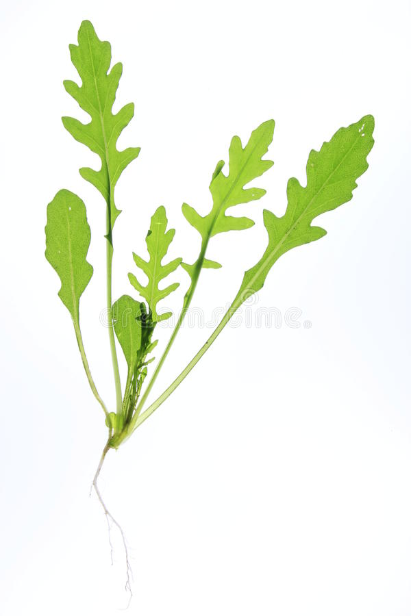Rucola salad. Whole plant of the rucola salad, before a white background stock photo