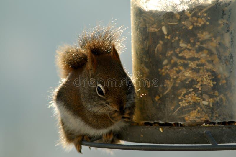 ruda wiewiórka żywnościowa obraz stock