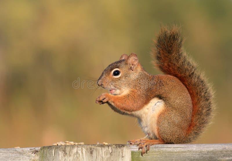 ruda wiewiórka płotu drewna zdjęcie royalty free