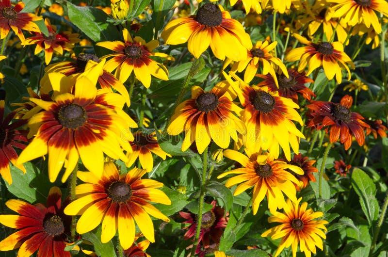 Rudbecia花绽放在庭院里在一好日子 免版税图库摄影