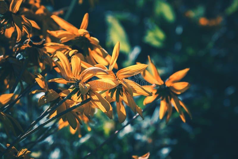 Rudbeckia amarelo ou flores de Susan de olhos pretos fotografia de stock