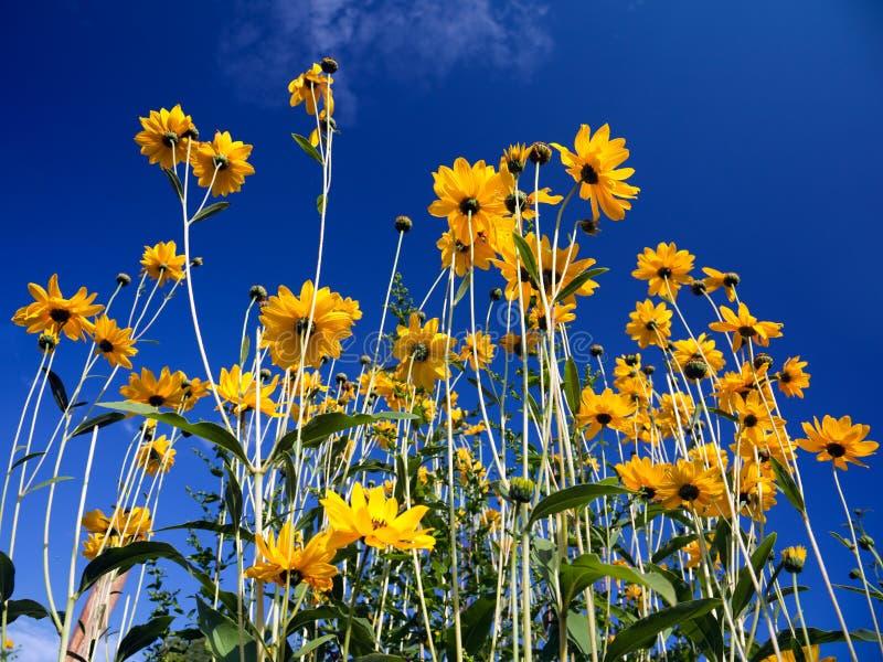 Rudbeckia amarillo imagen de archivo