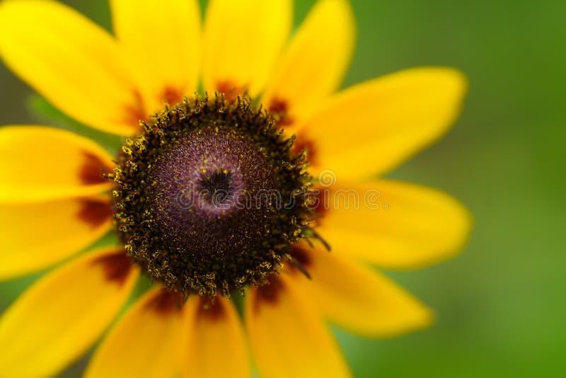 Rudbeckia amarillo o wildflower observado negro de susan imagen de archivo