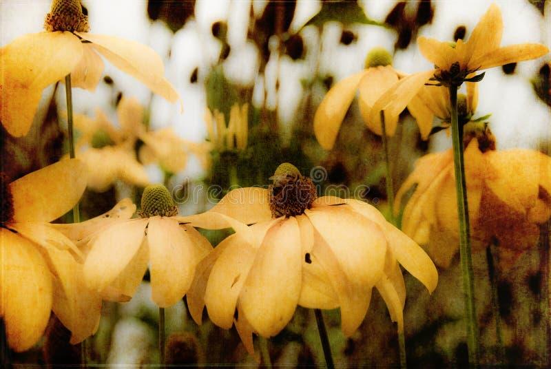 Rudbeckia with bee stock photos