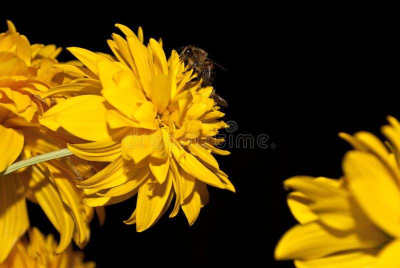 Rudbeckia de pollination de fleur d'abeille, photos sur un fond noir photo libre de droits