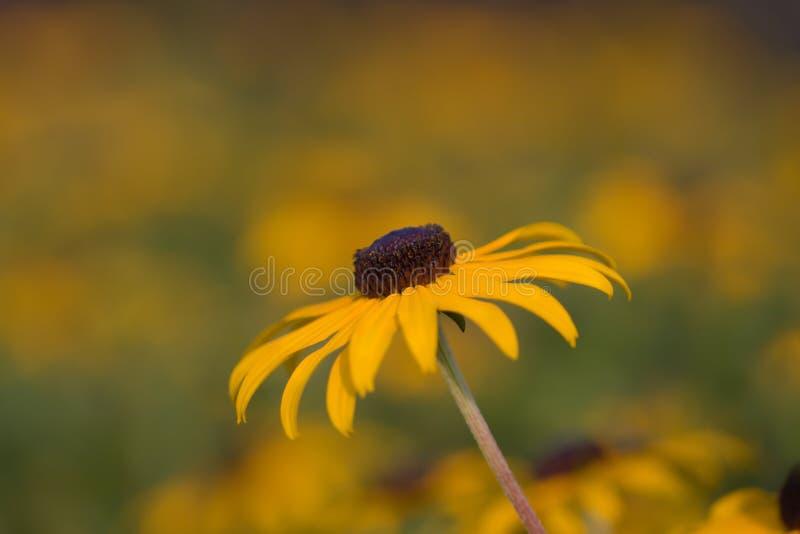 rudbeckia eyed чернотой hirta susan стоковые изображения rf