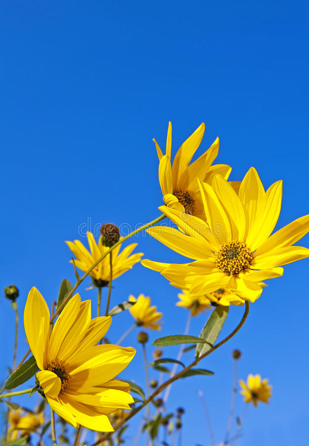 Rudbeckia - fall flowers royalty free stock photo