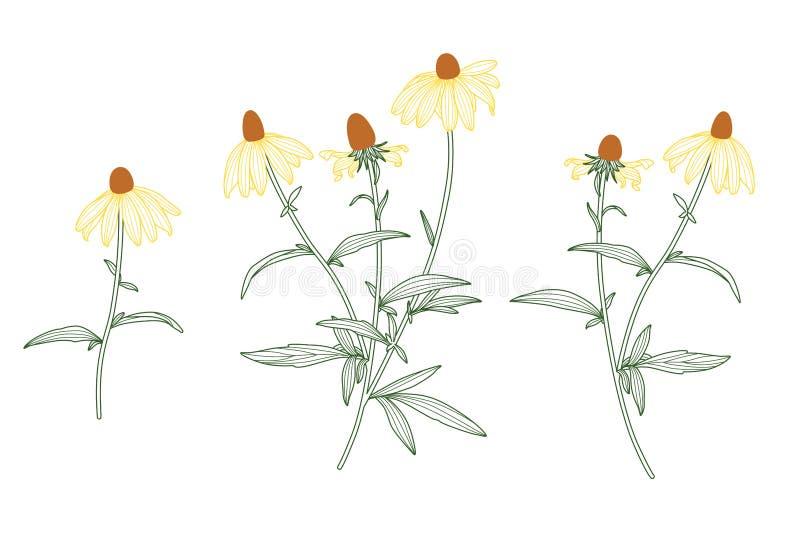 Rudbeckia Flower Line Drawing Vector Set on White stock illustration