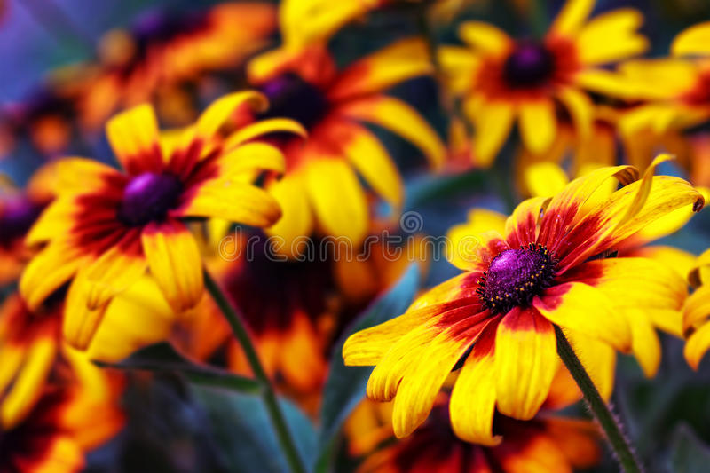 Rudbeckia flower. Yellow rudbeckia flower in the garden, focus on flower in front& x28;selective focus& x29 royalty free stock photo