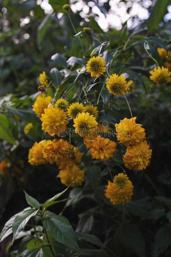 Rudbeckia flowers. stock images
