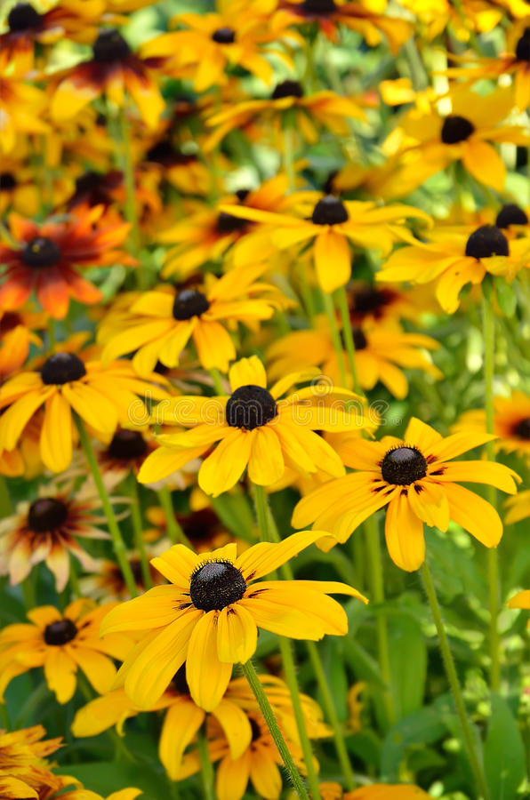 Rudbeckia flowers in the garden royalty free stock photos
