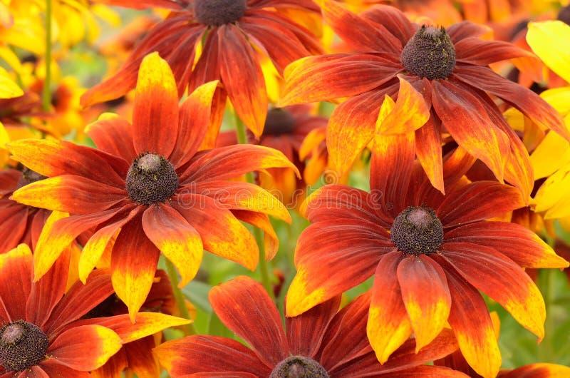 Rudbeckia flowers stock photography