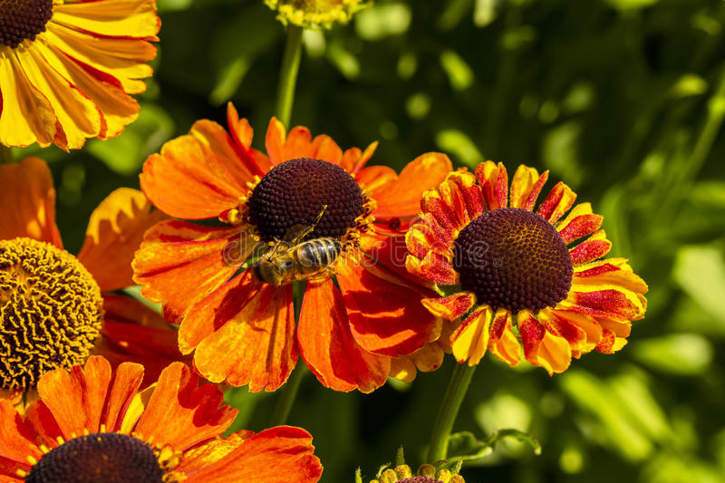 Rudbeckia flowers with honey bee close-up. Orange cone flowers Rudbeckia close-up in garden royalty free stock image