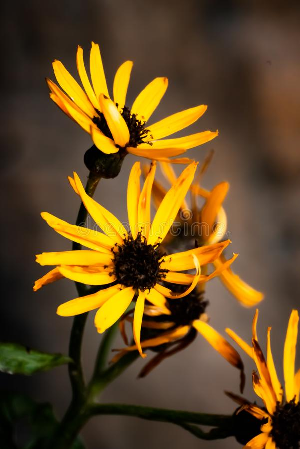 Rudbeckia fulgida, autumn flowers royalty free stock photography
