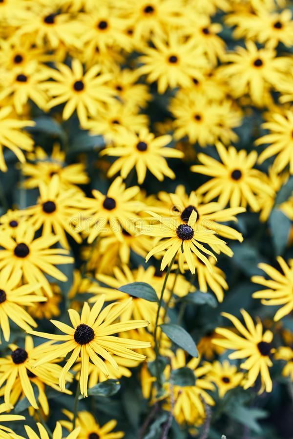 Rudbeckia fulgida. The Flowers Are Yellow. royalty free stock photography