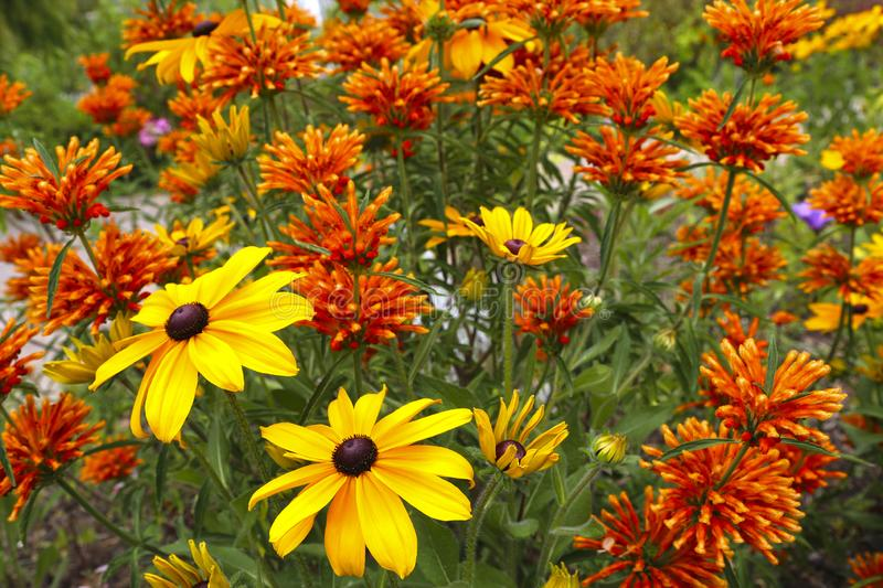 Rudbeckia fulgida and lions tail plant in the summer garden royalty free stock image