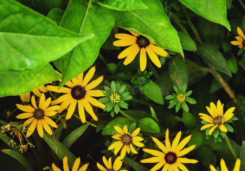 Rudbeckia fulgida blossom. Black-eyed Susan. Leuchtender Sonnenhut. Bloom, blooming stock image