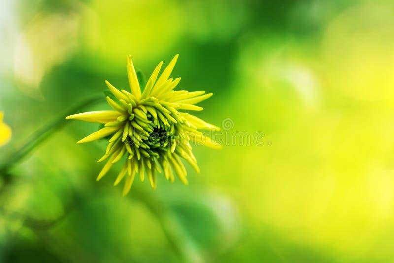 Rudbeckia golden balls. Rudbeckia head bud, beautiful yellow garden flowers. Rudbeckia head bud, beautiful yellow garden flowers. Shallow depth of field, plant stock image