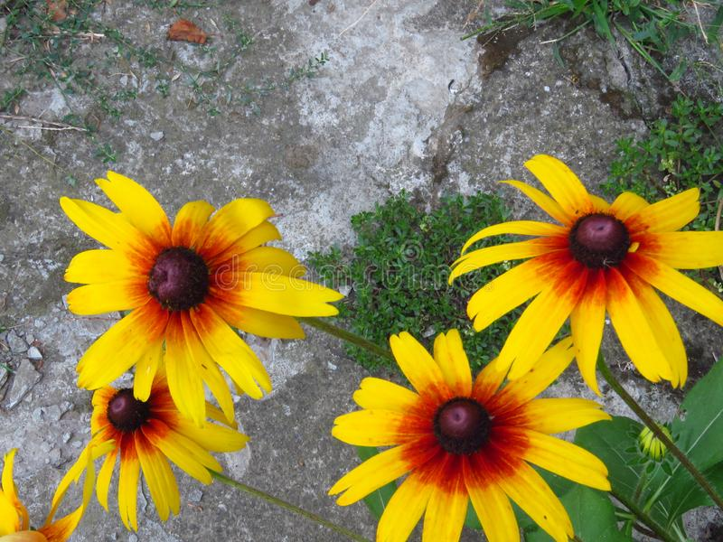 Top view of Rudbeckia hirta. Rudbeckia hirta. Gazania. Black-eyed Susan blooming. Yellow summer garden flower. royalty free stock photos