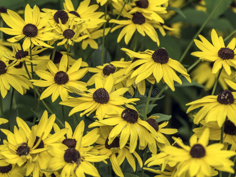 Rudbeckia hirta, black-eyed-susan royalty free stock image