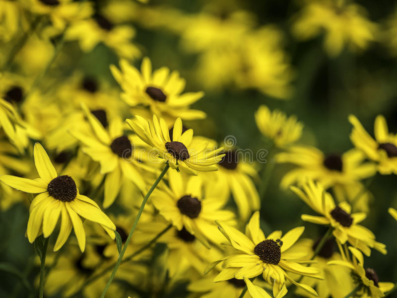 Rudbeckia hirta, black-eyed-susan stock images