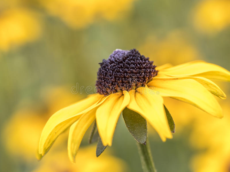 Rudbeckia hirta, black-eyed-susan stock photos