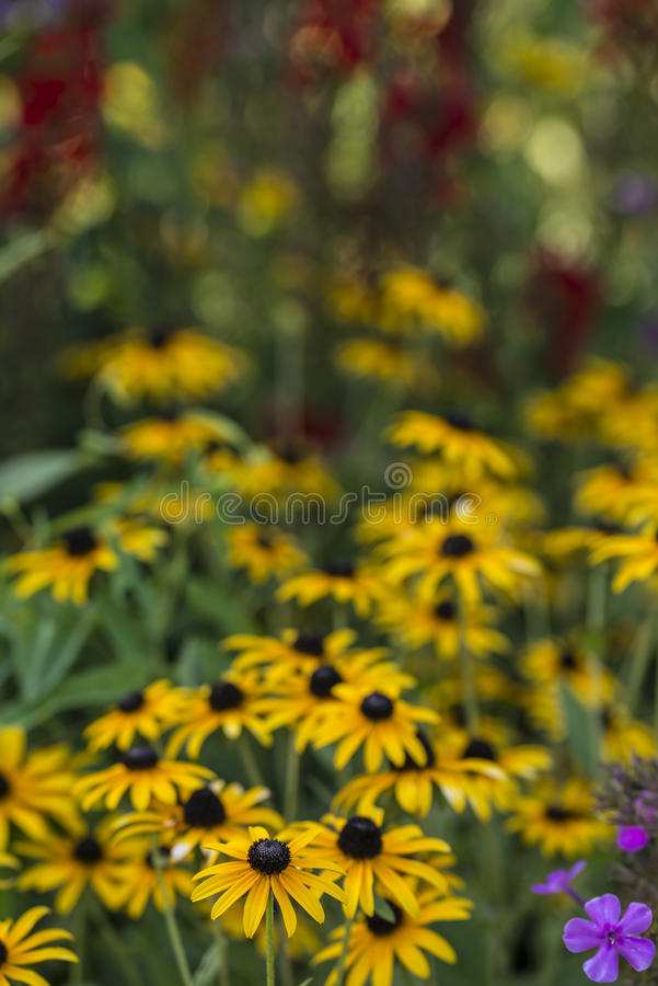 Rudbeckia hirta, black-eyed Susan royalty free stock photos