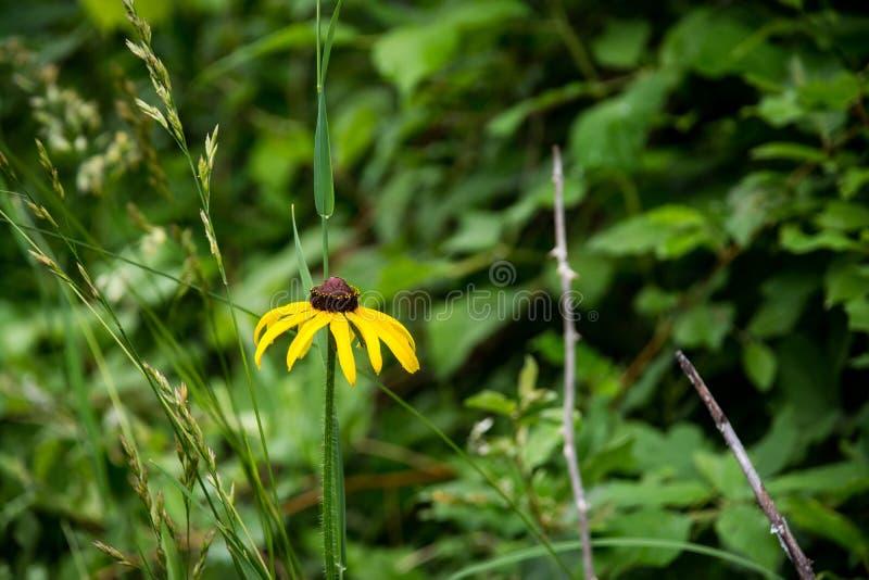 Rudbeckia hirta einzelner Blume Abschluss oben lizenzfreie stockfotos