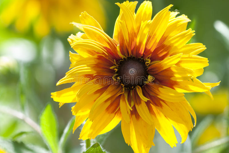 Rudbeckia hirta flower close up stock images