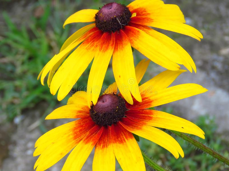 Rudbeckia hirta. Gazania. Gloriosa Daisy. Closeup of black eyed susans yellow garden flowers blooming outdoors. Two flowers. The hidden beauty of nature / our royalty free stock image