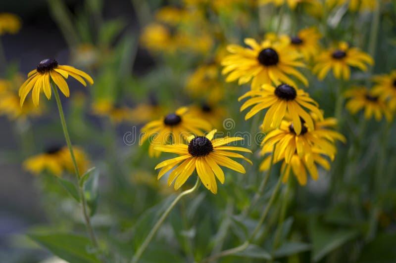 Rudbeckia hirta Gelbblume mit schwarzer brauner Mitte in der Blüte, schwärzen gemusterte Susan im Garten stockfotos