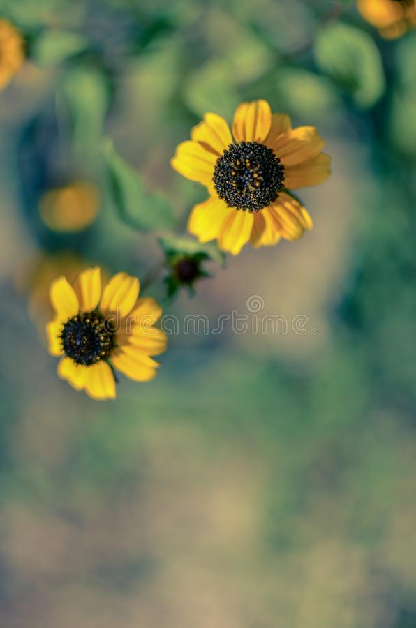 Rudbeckia Hirta L. Toto, Black-Eyed Susan flowers of the Asteraceae family royalty free stock photo