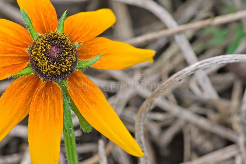 Rudbeckia hirta and litter close-up royalty free stock photography